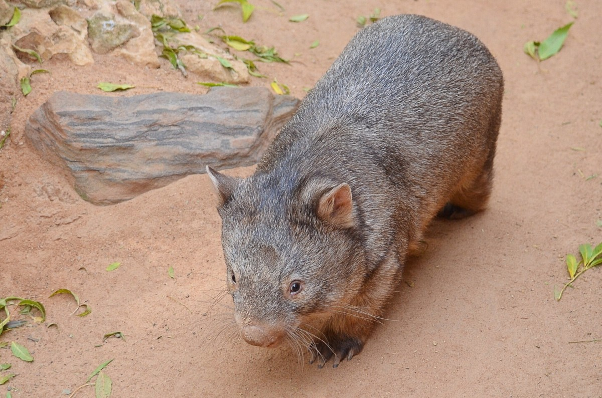 A young wombat