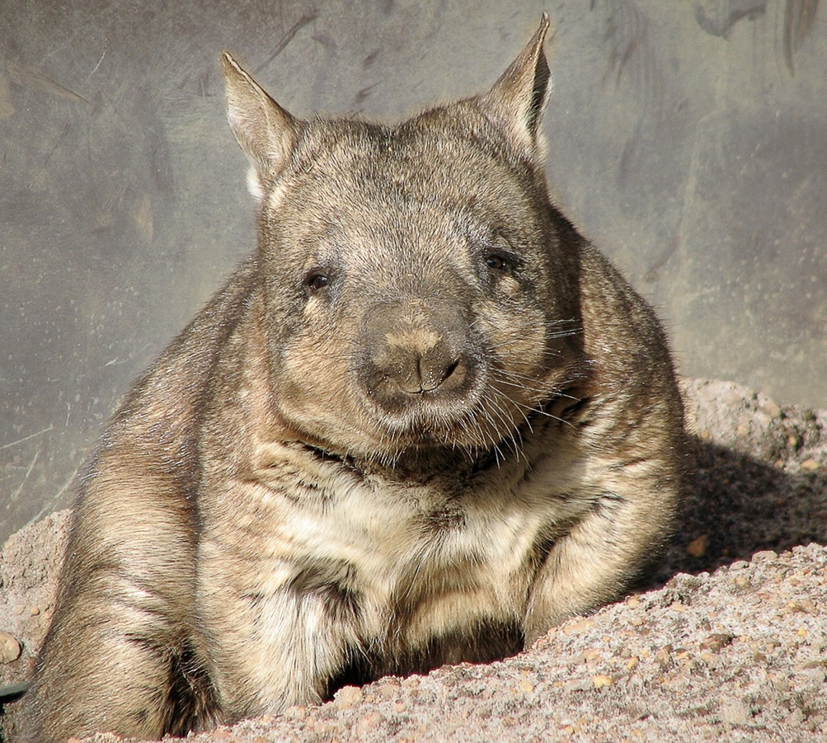 A southern hairy-nosed wombat