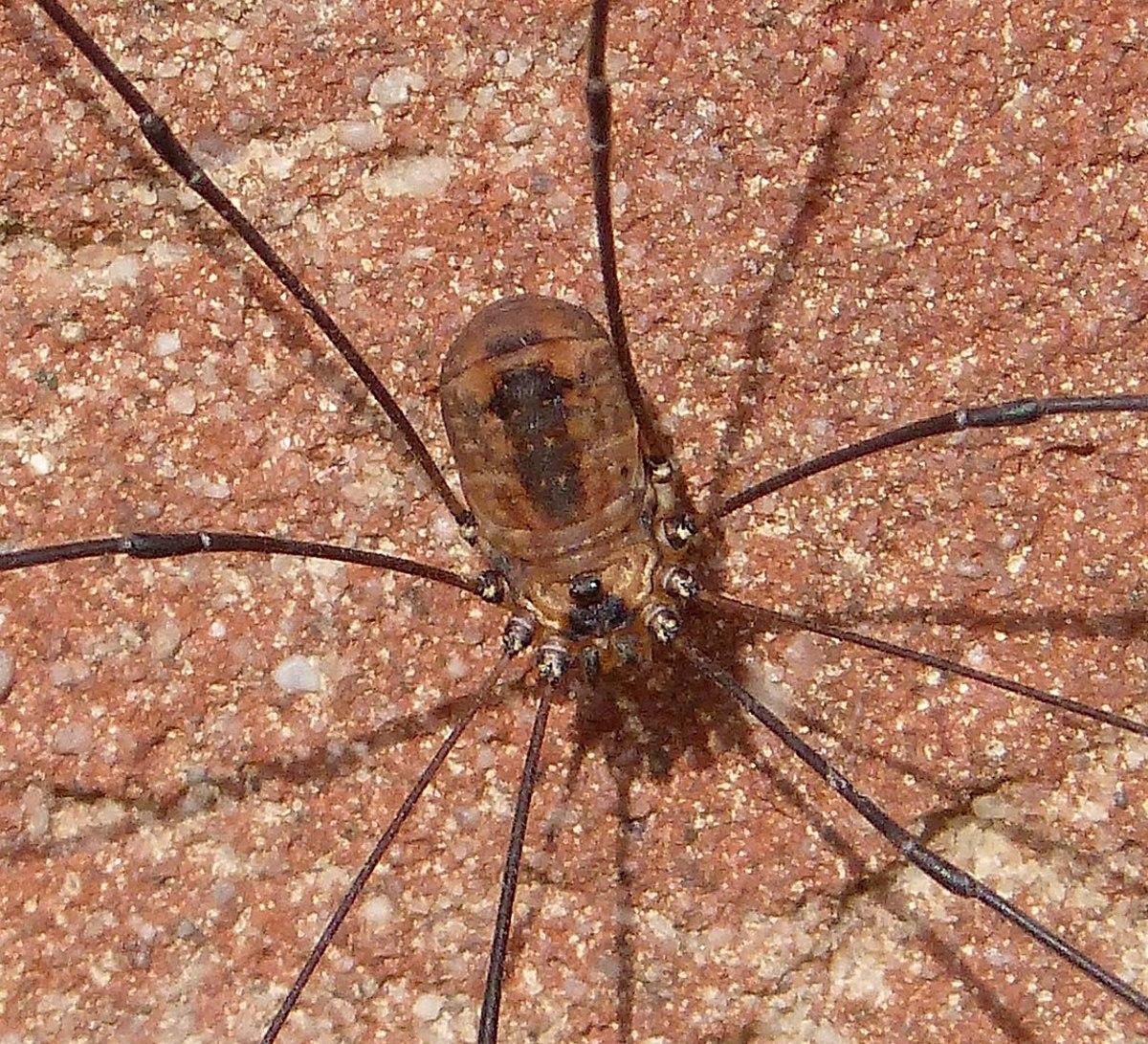 A female Leiobunum rotundum
