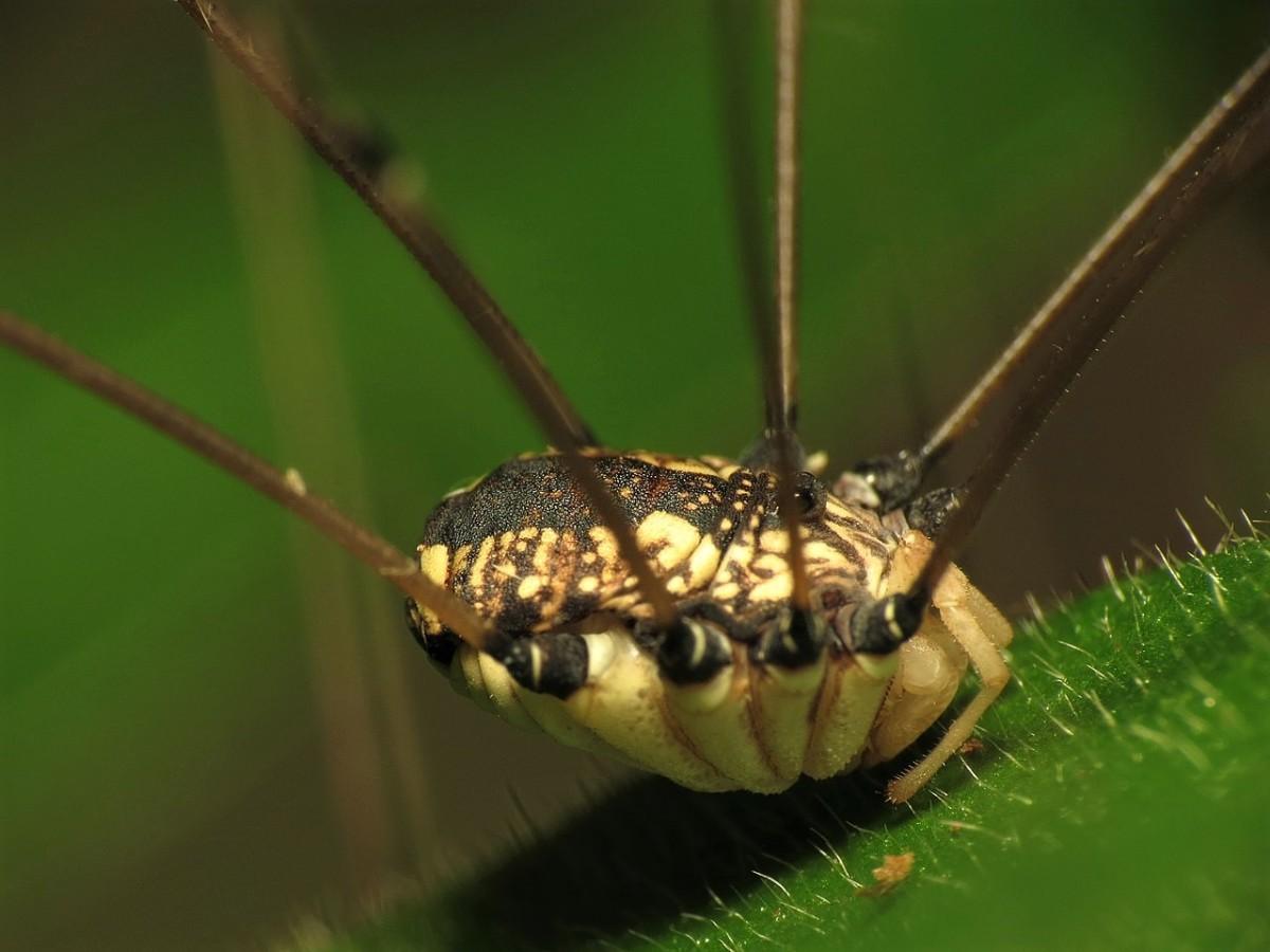Leiobunum vittatum in the United States