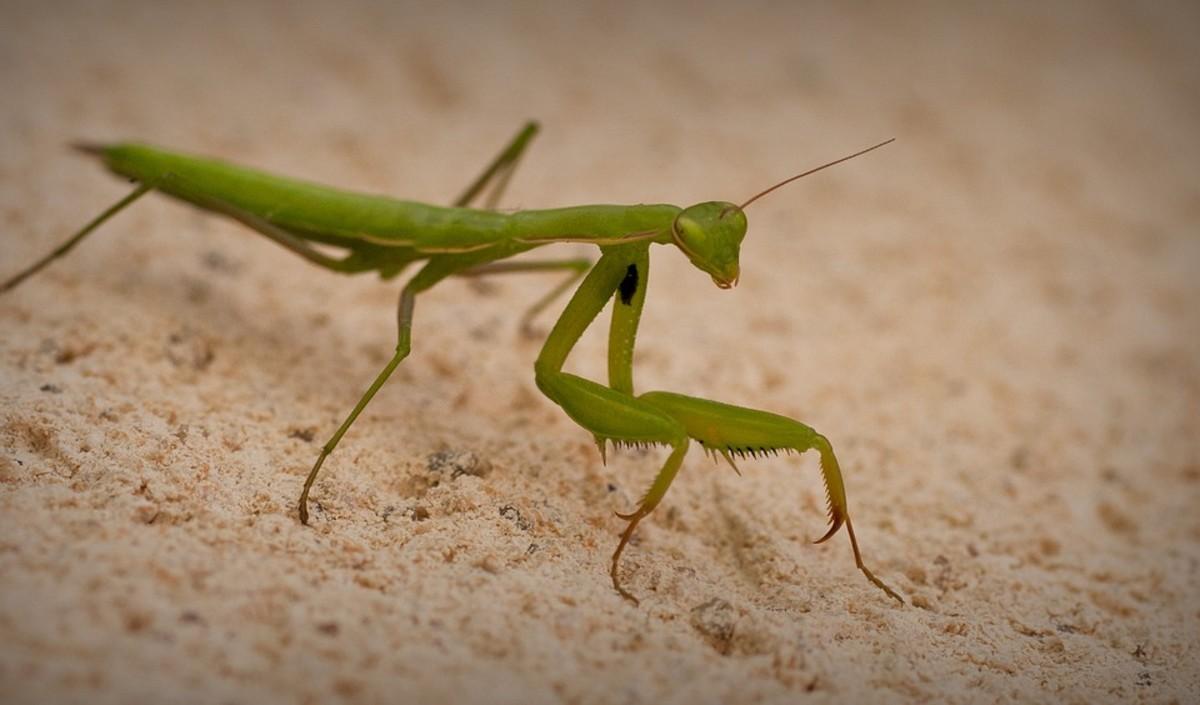 african-mantis