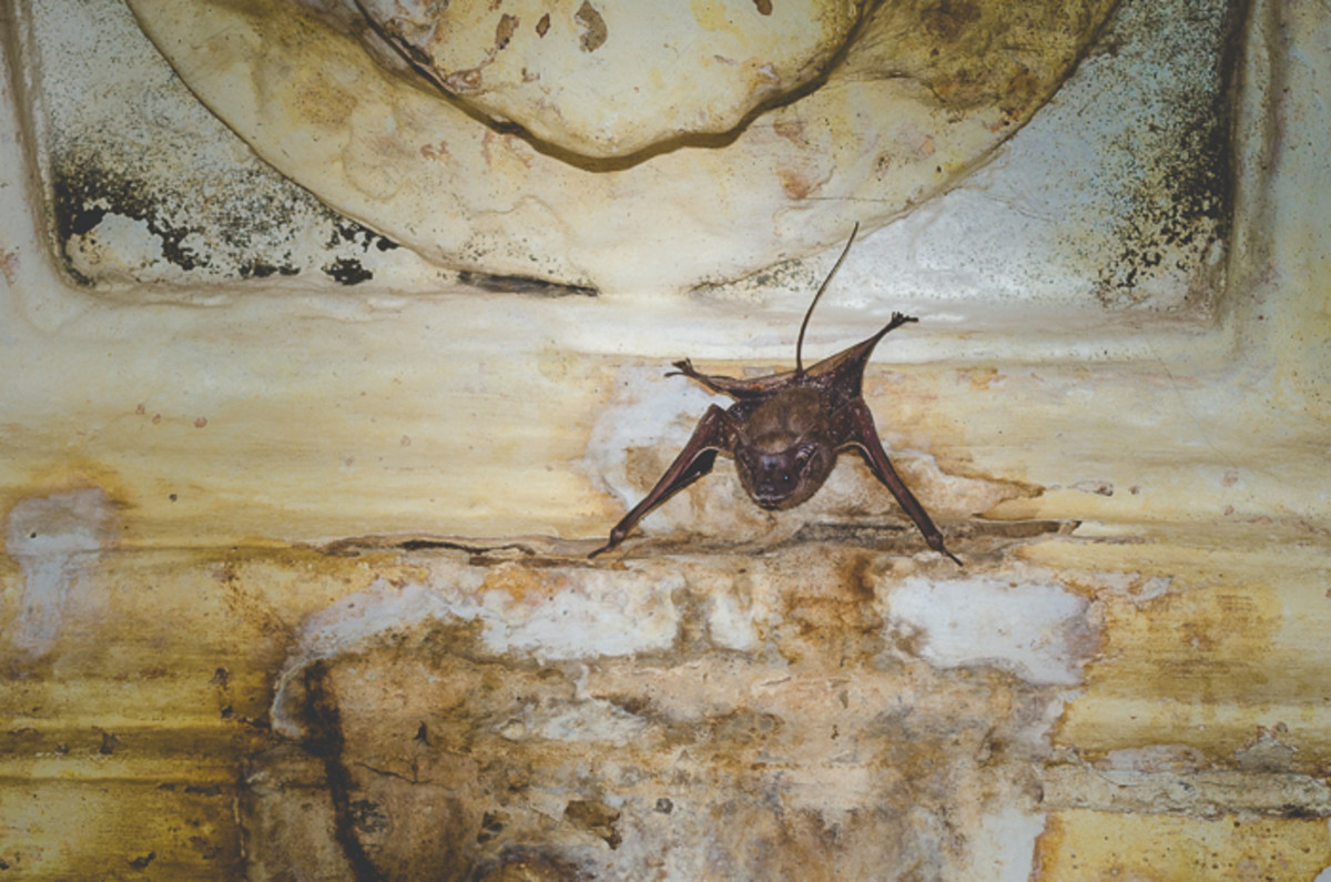 Mouse-Tailed Bats