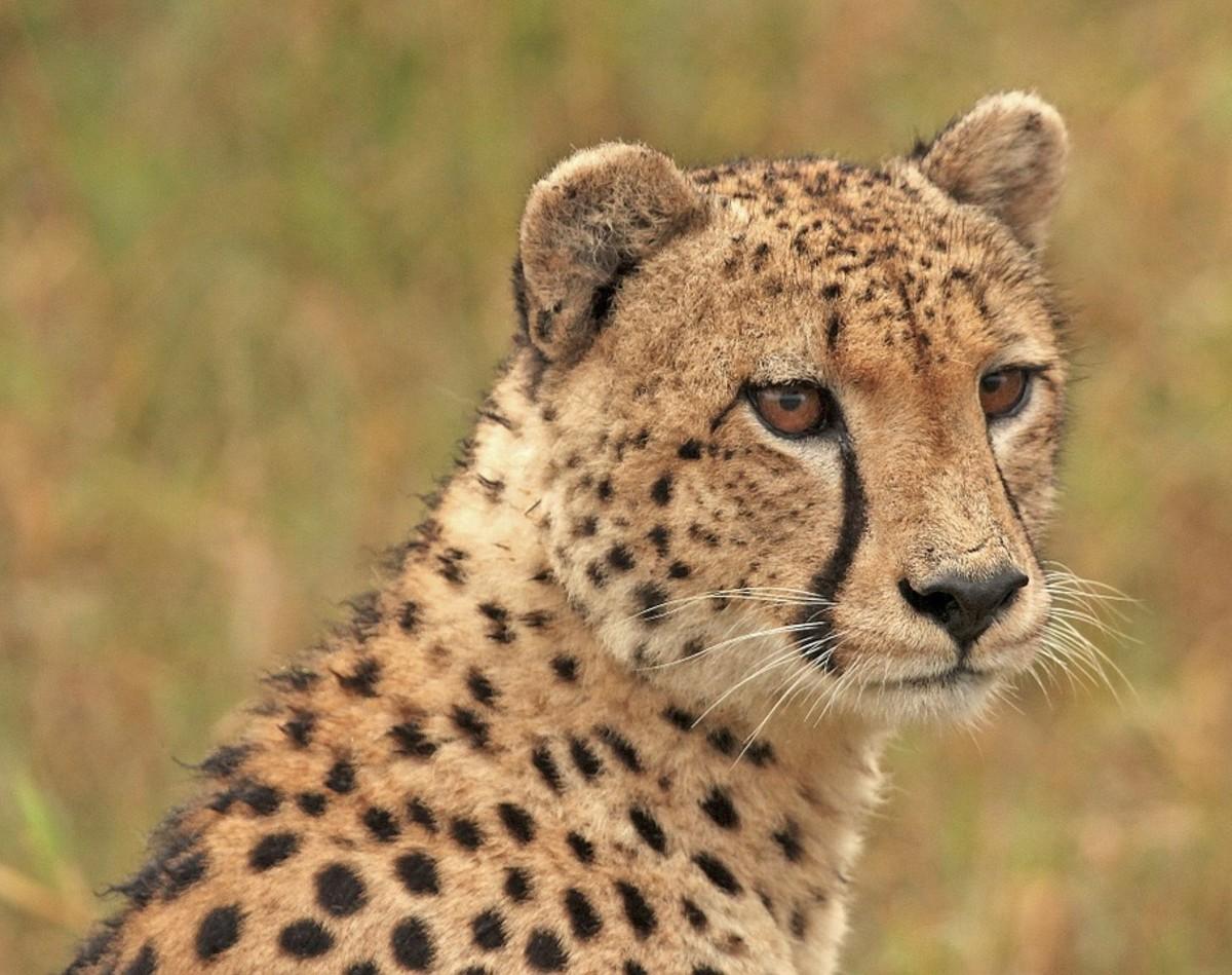 Saharan Cheetahs