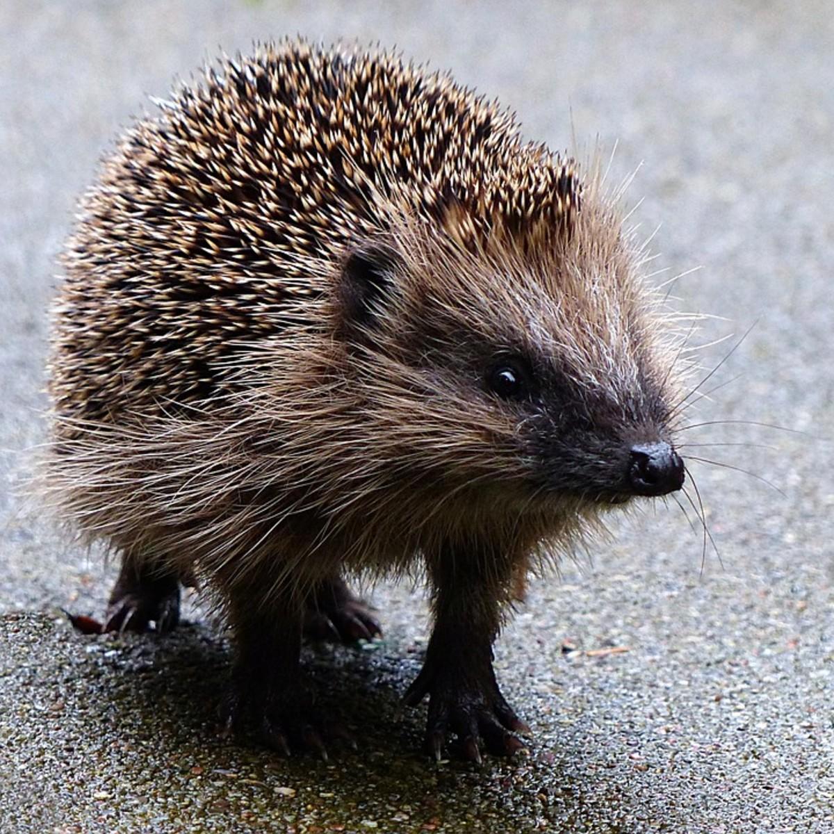 Desert Hedgehogs