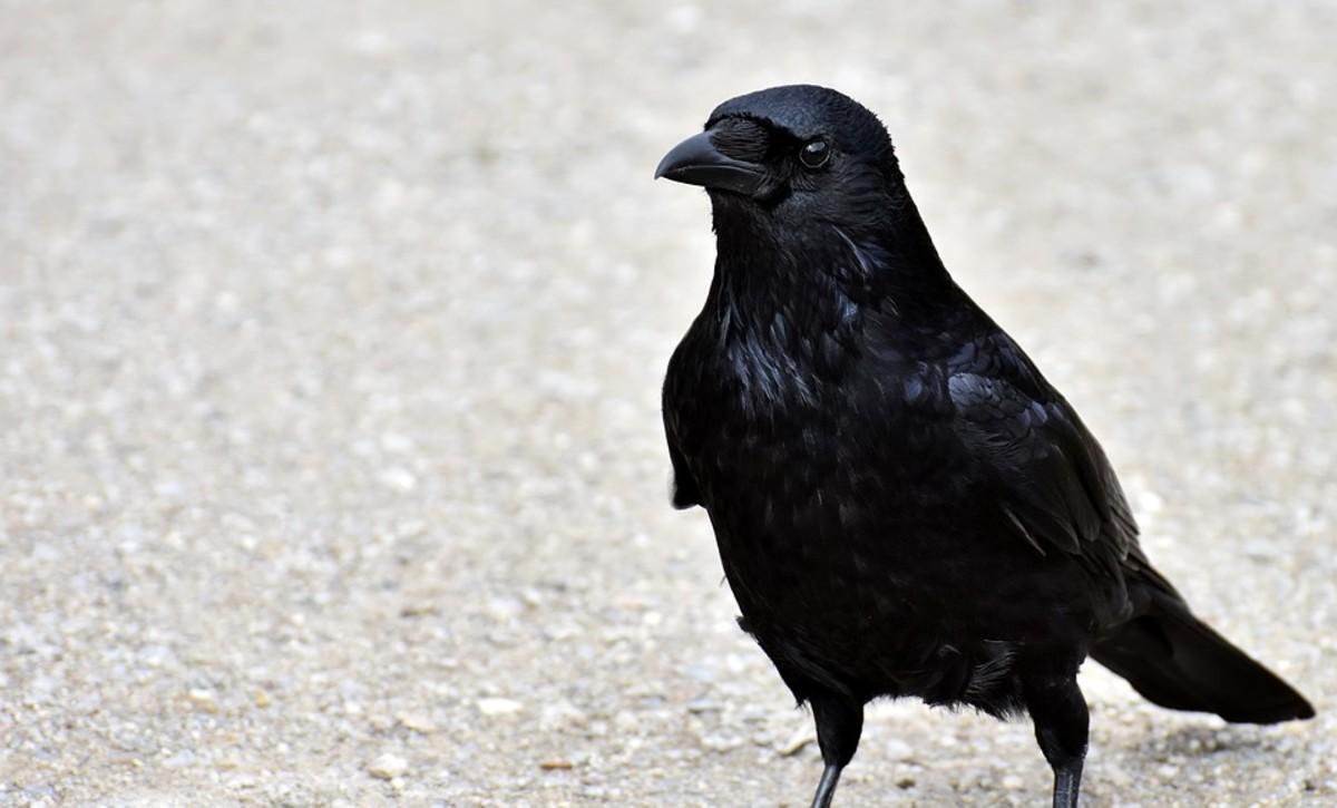 Fan-Tailed Ravens