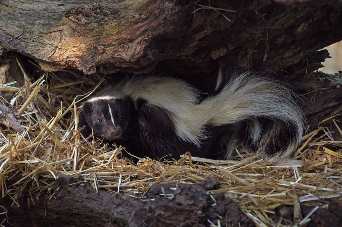 Striped Polecats