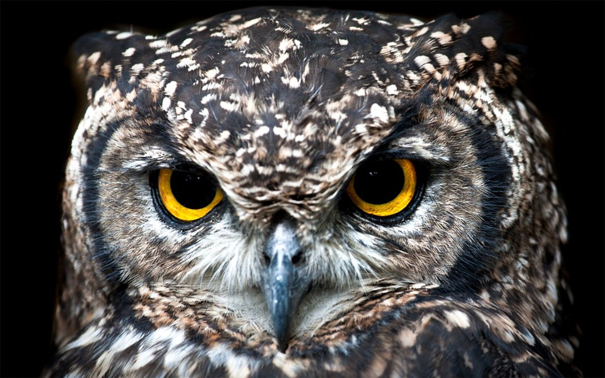 African Spotted Eagle Owls