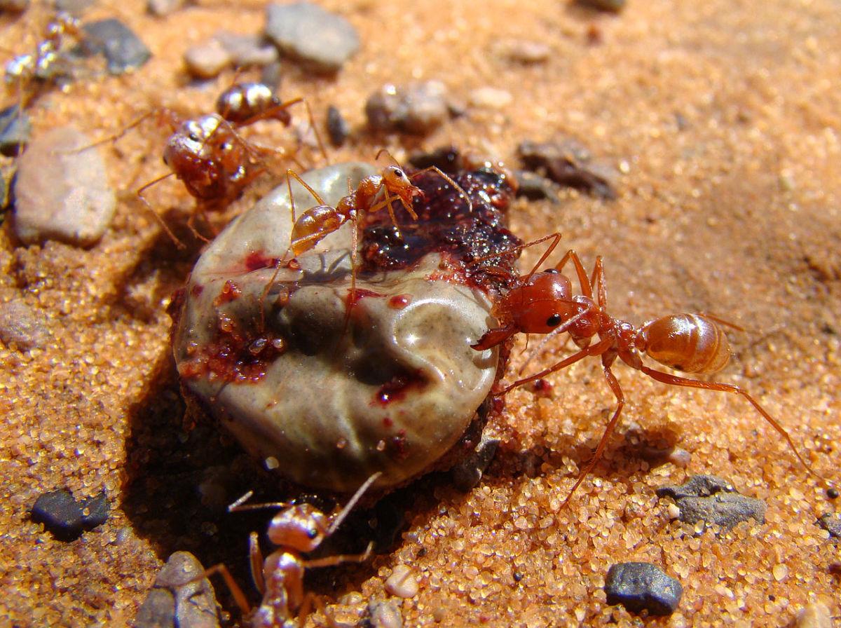 Saharan Silver Ants