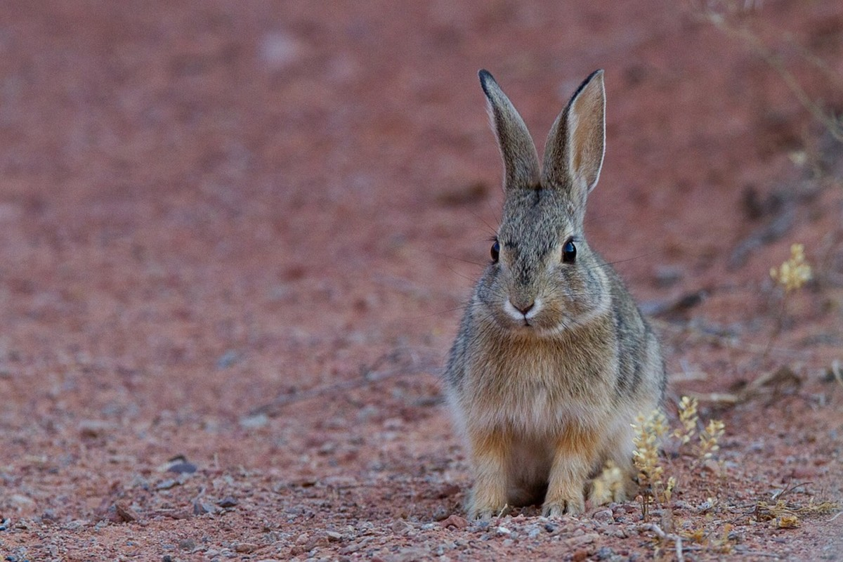 Cape Hares