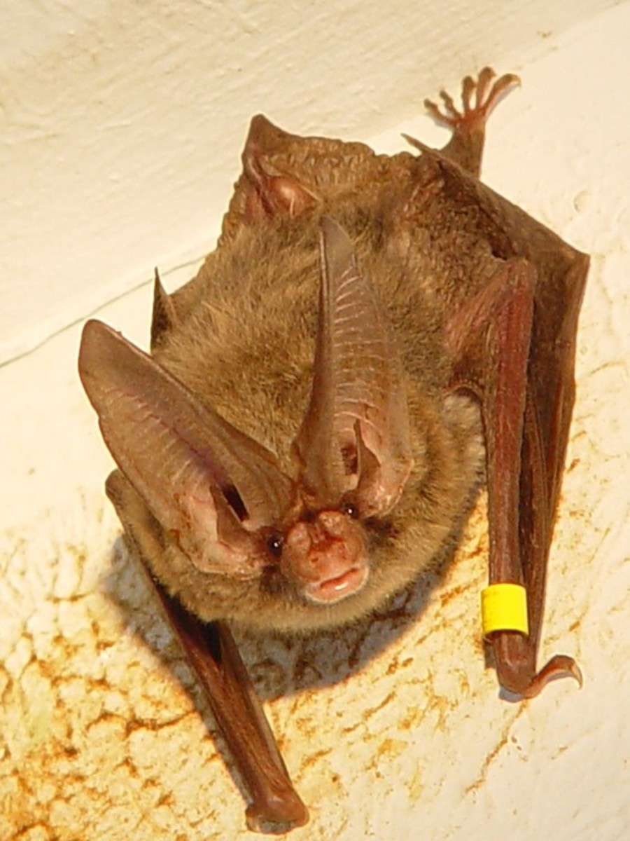 Desert Long-Eared Bats
