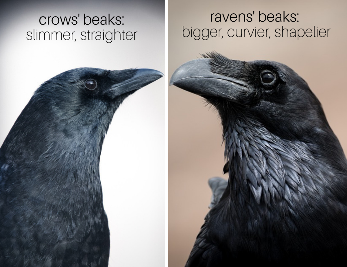 Crows' vs. Ravens' Beaks: Crows' beaks are significantly slimmer and straighter than ravens' fuller, curvier, more hooked beaks.