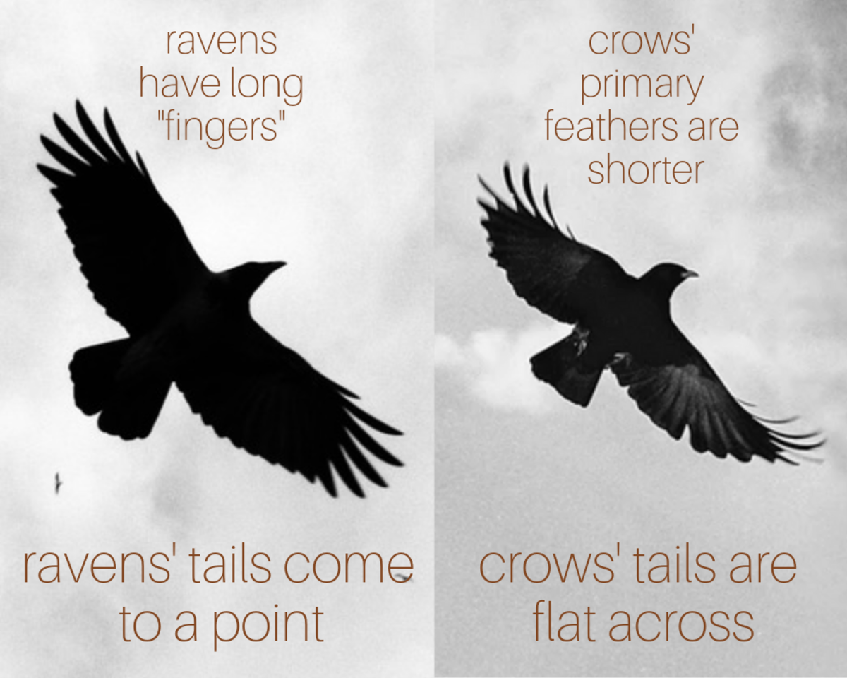 When you see a black bird in the sky, this is how you can tell if it's a crow or a raven.