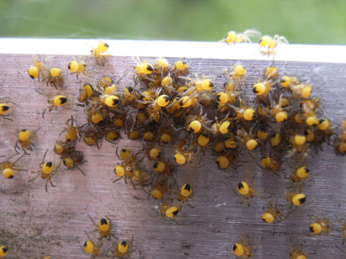 A Group of Recently Hatched Juvenile Cross Orb Weavers