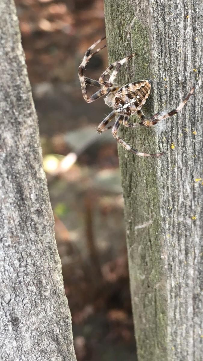 An adult female cross orb weaver