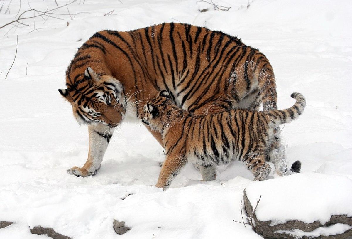 Siberian Tiger spotted alongside its cub.