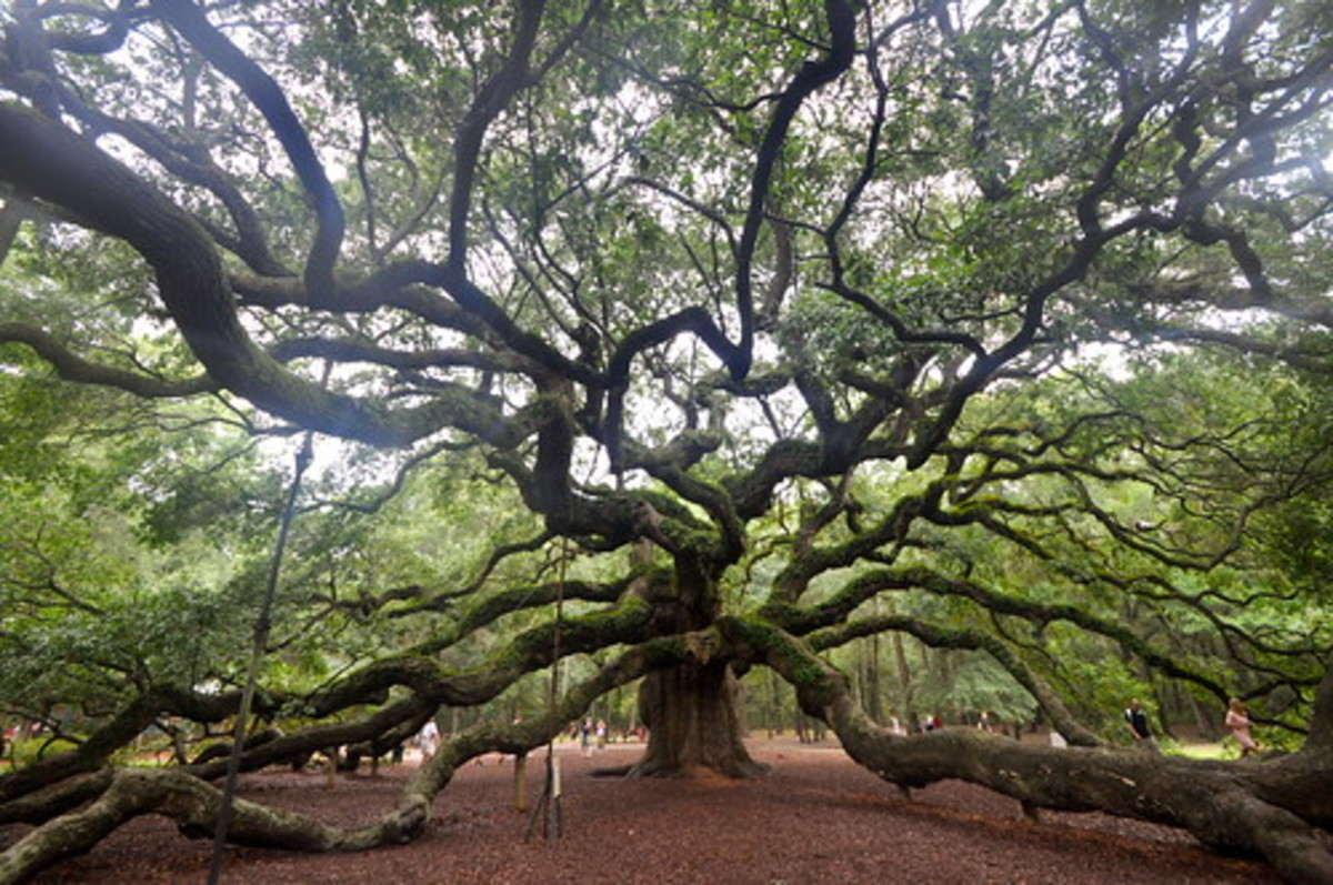 The Angel Oak tree in South Carolina is about 400 years old.