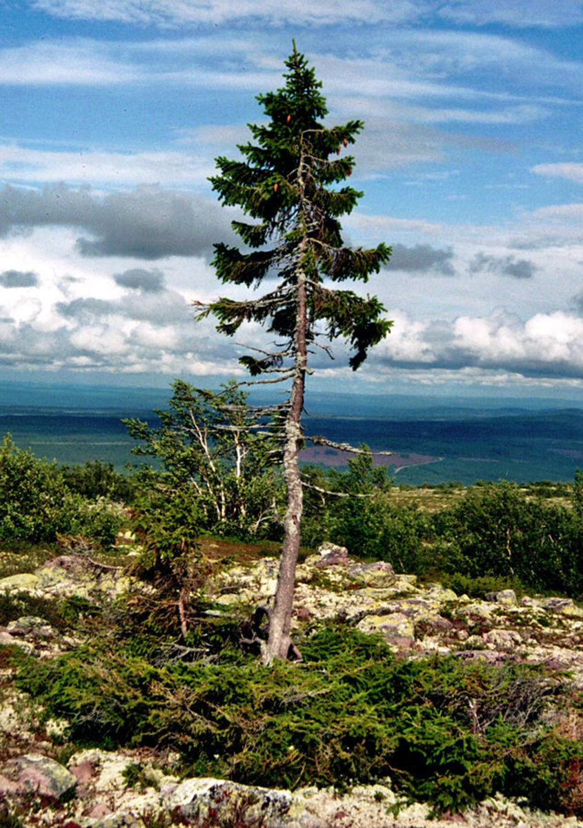 This is Old Tjikko a Norway pine growing in Sweden. Its root system is 9,550 years old making it the world's oldest the tree, although the visible trunk and needles are younger.