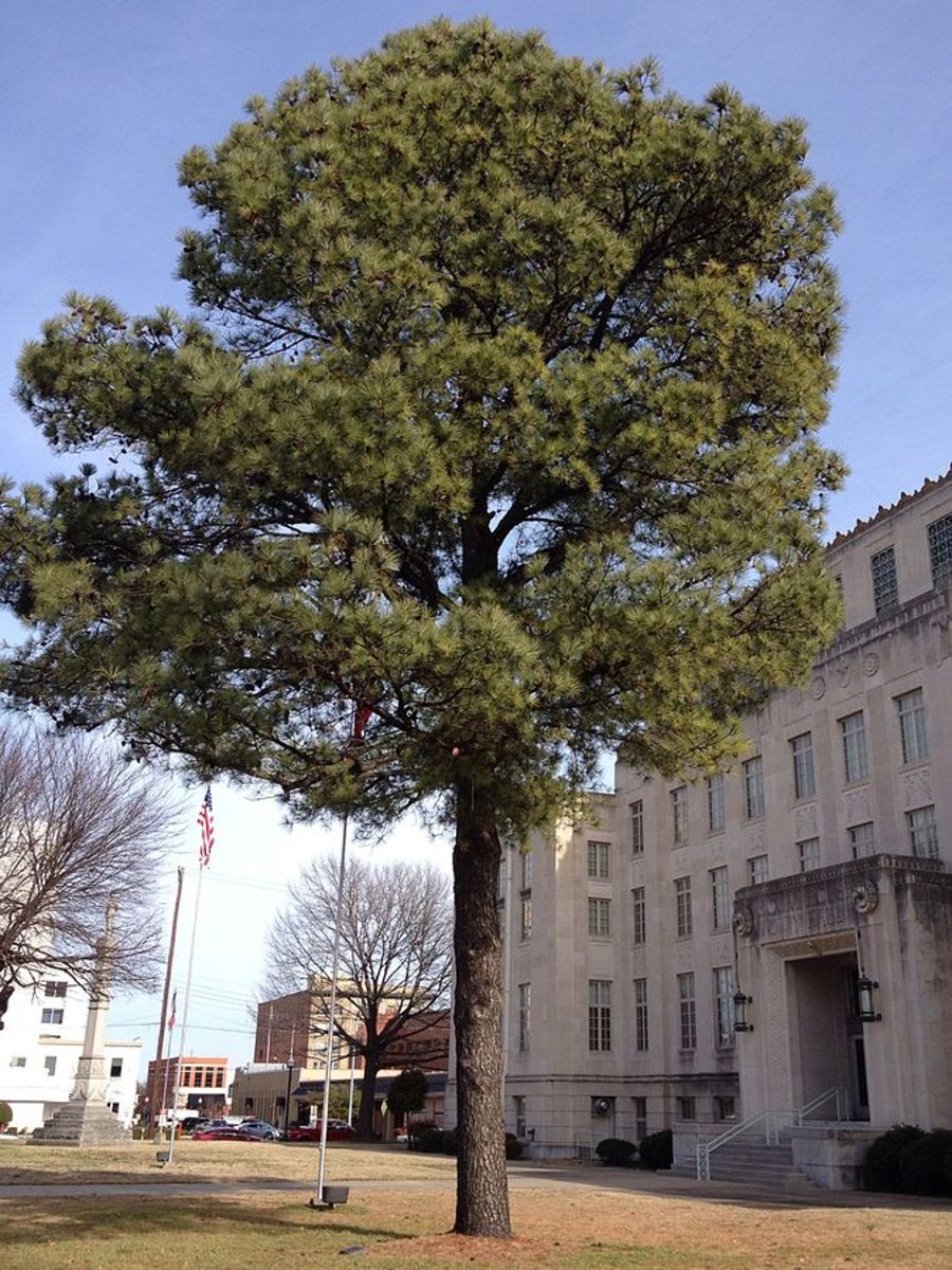 This Moon Tree, a loblolly pine, has survived in Fort Smith, Arkansas.