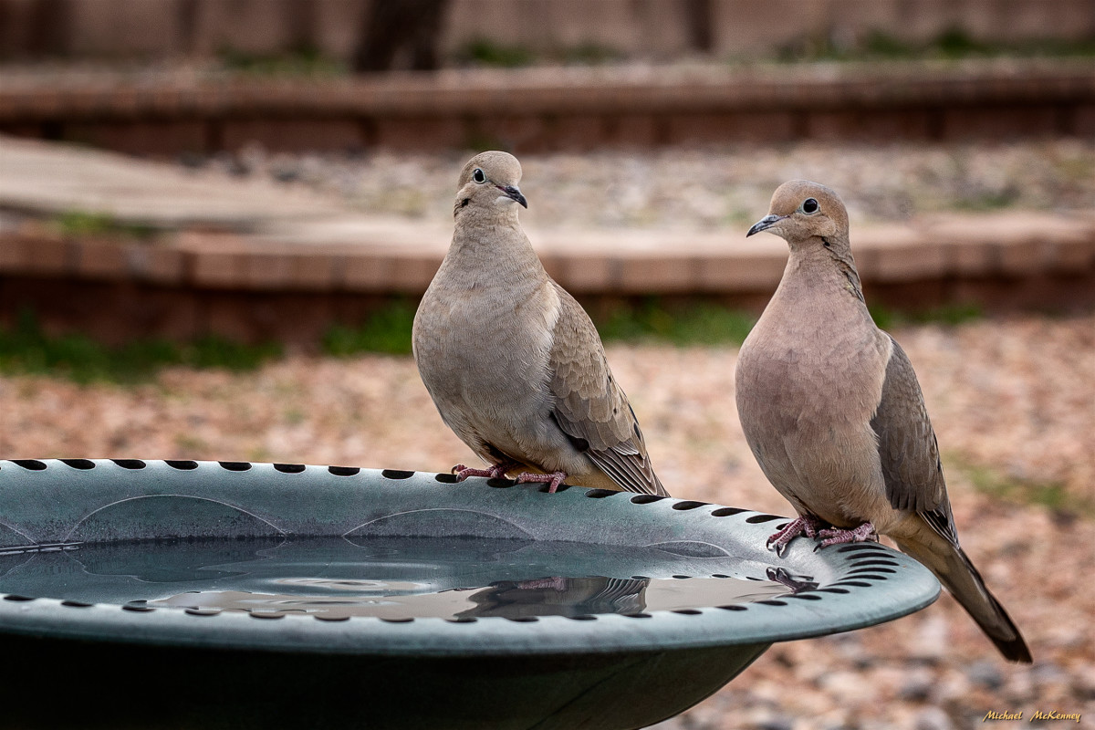 A male (left) and a female mourning dove couple stopping at our birdbath.  The male dove is only slightly larger than the female.