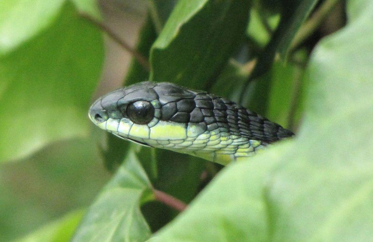 Boomslang snake.