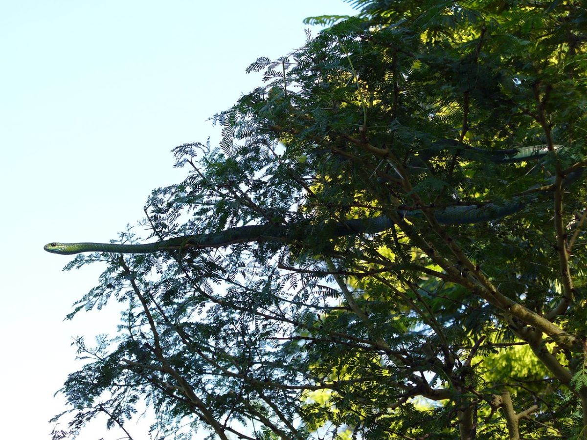 Boomslang spotted in tree.