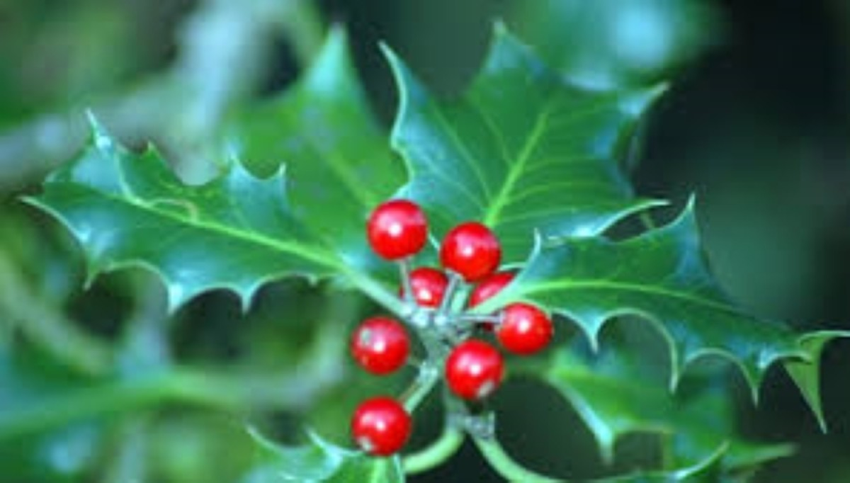 Ilex or Holly, Family Aquifoliaceae