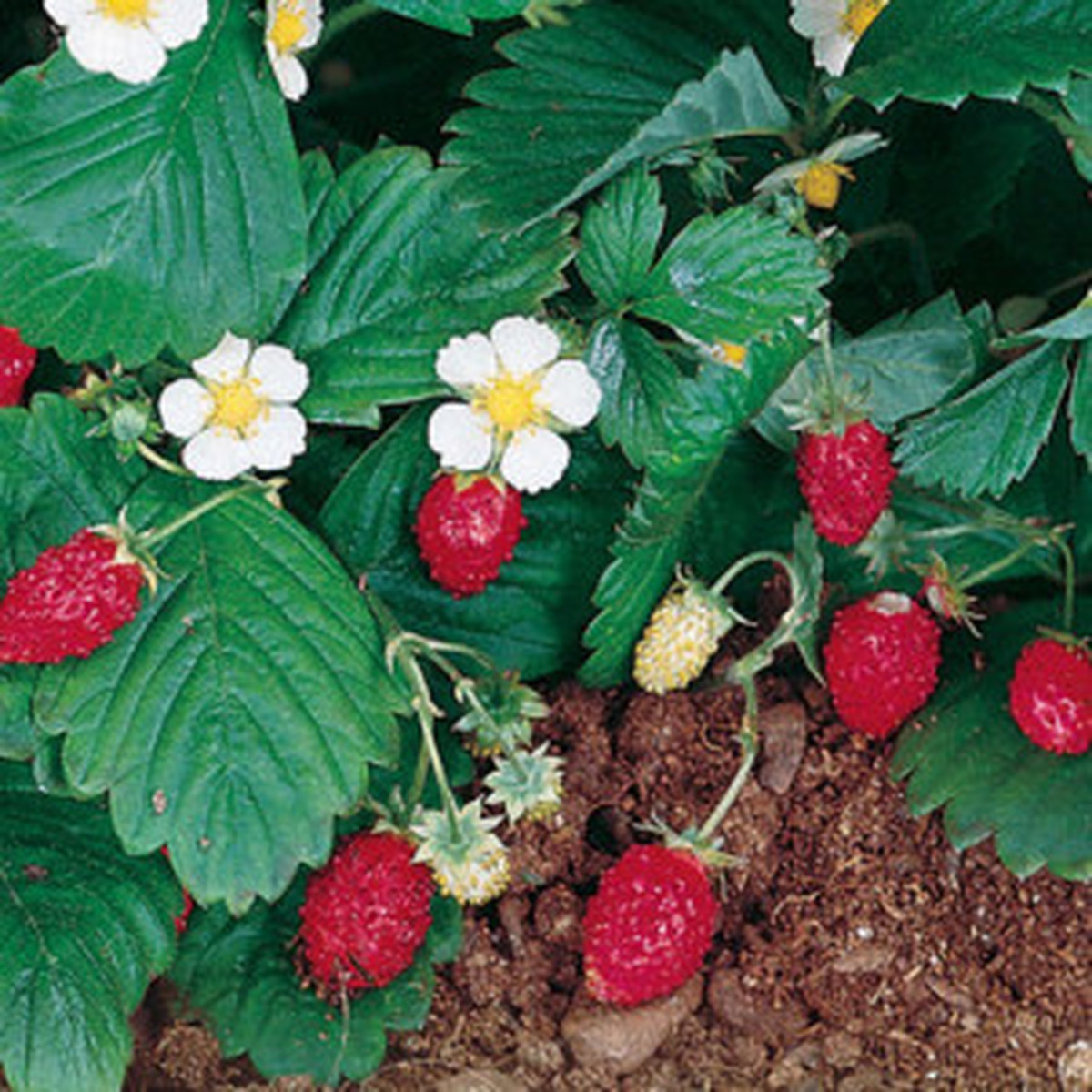 This is the Alpine Strawberry variety (Fragaria Vesca).