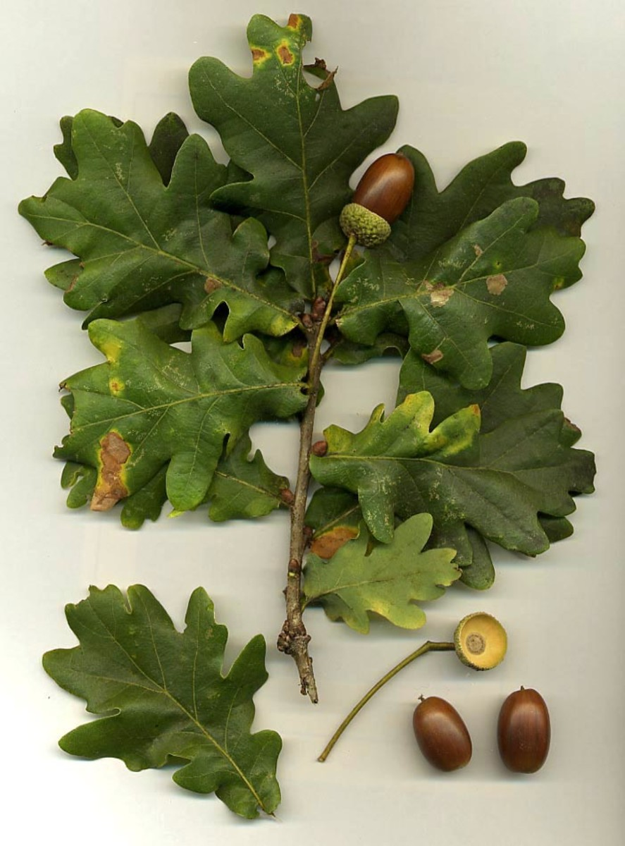Oak leaves are the earliest and most common form used in the Green Man face.