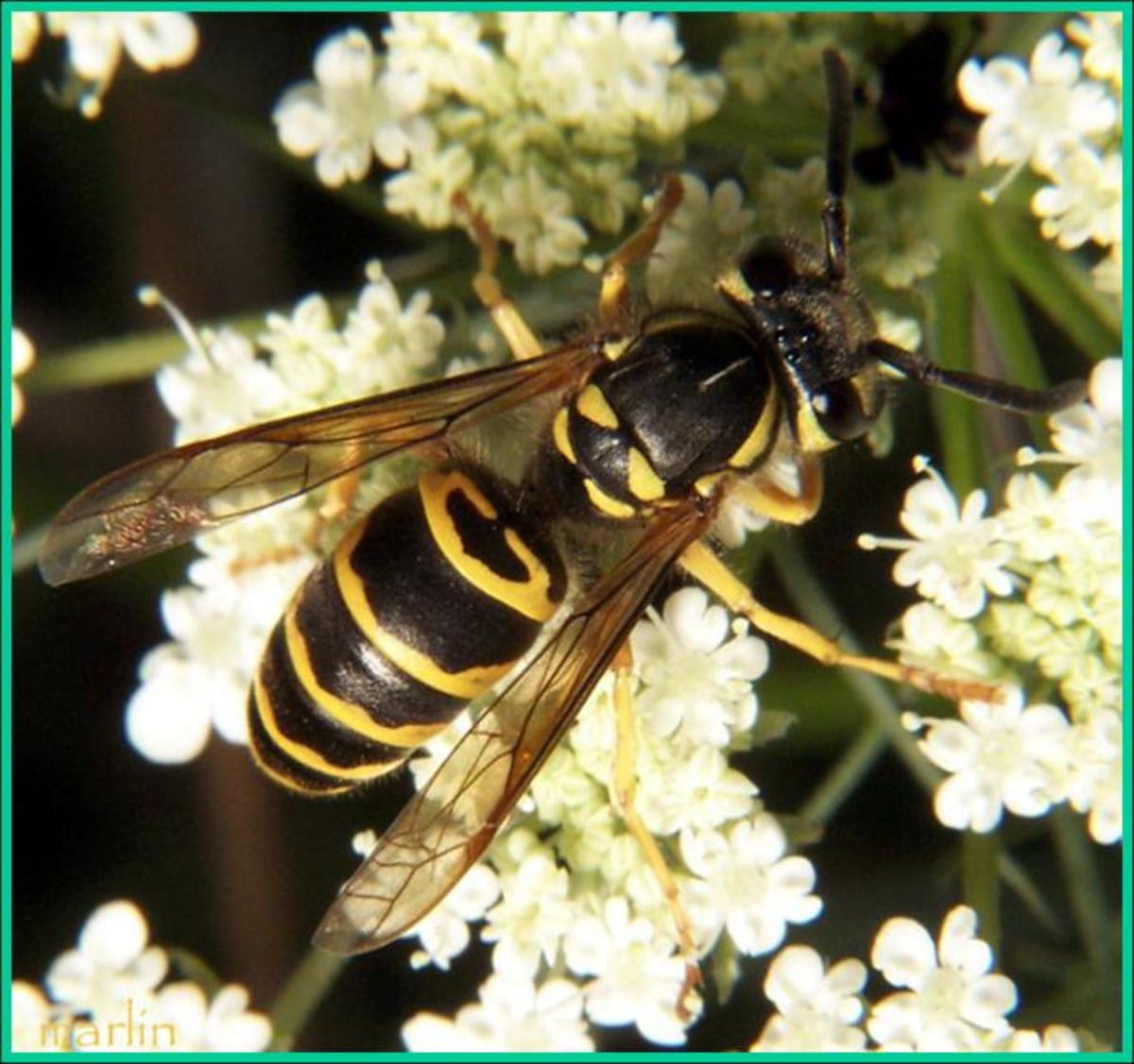 Yellowjacket on flowering plant