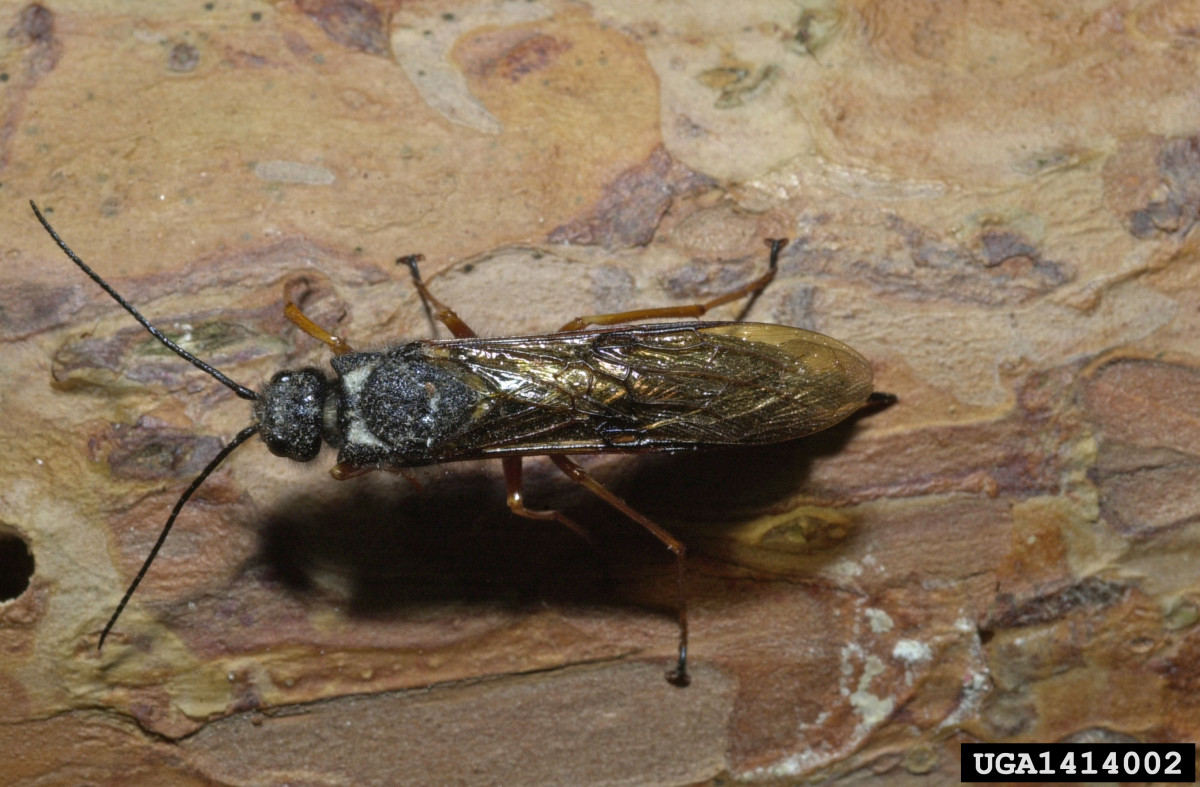 The Wood Wasp