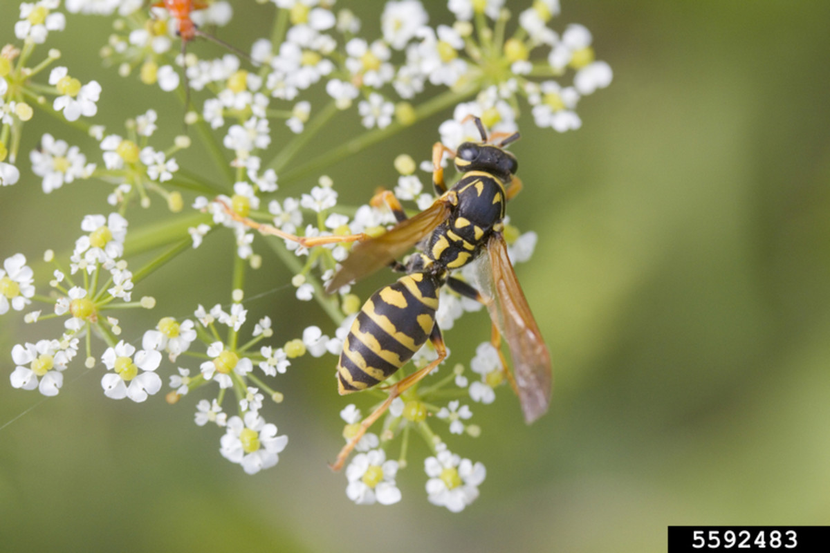 European Paper Wasp looks very similar to the Yellowjacket. Note the  subtle differences in markings and shape of body parts.