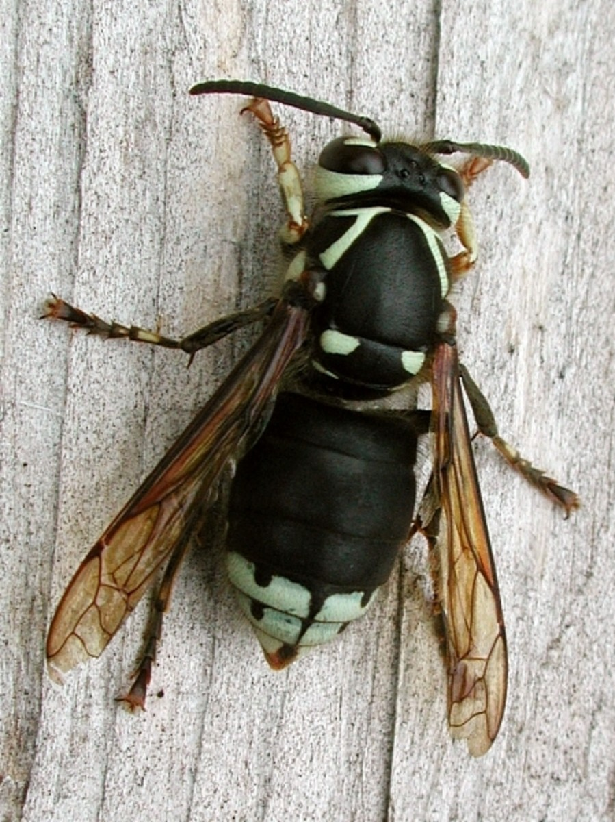 The Bald Faced Hornet