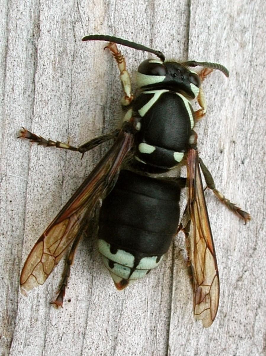 The Bald Faced Hornet