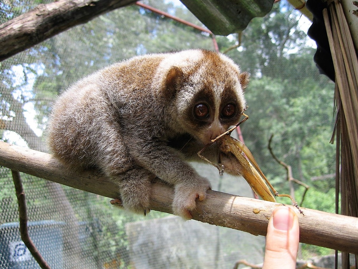 Another slow loris