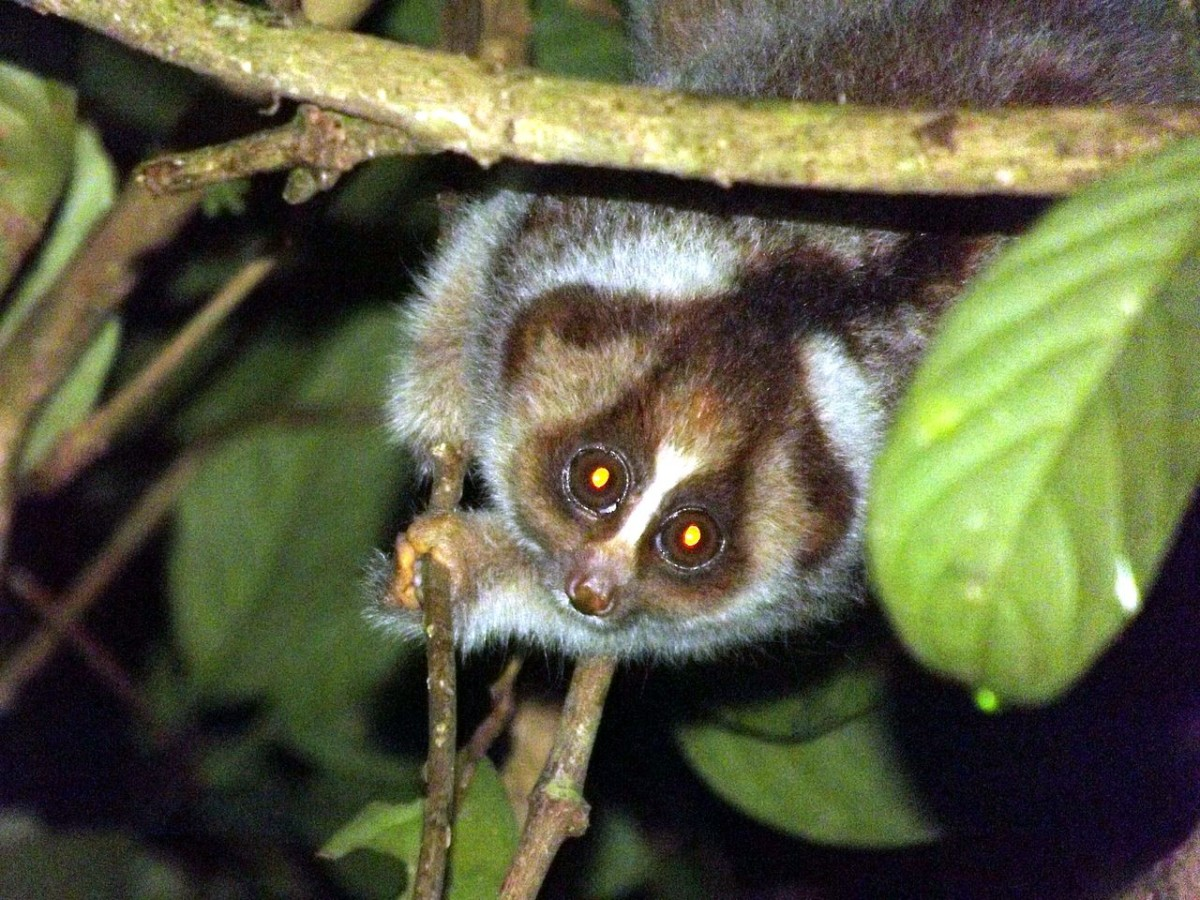 Eyeshine in a Kayan River slow loris