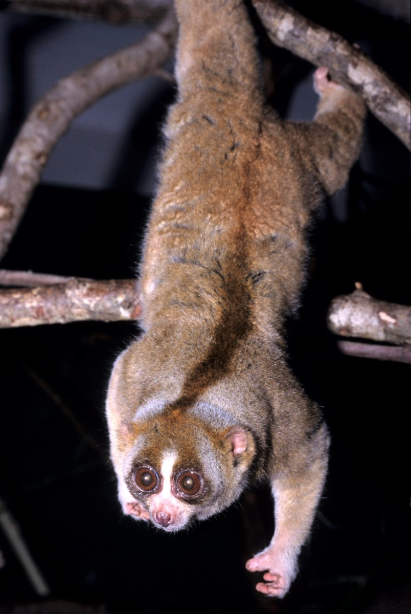 A Sunda slow  loris at the Duke Lemur Center