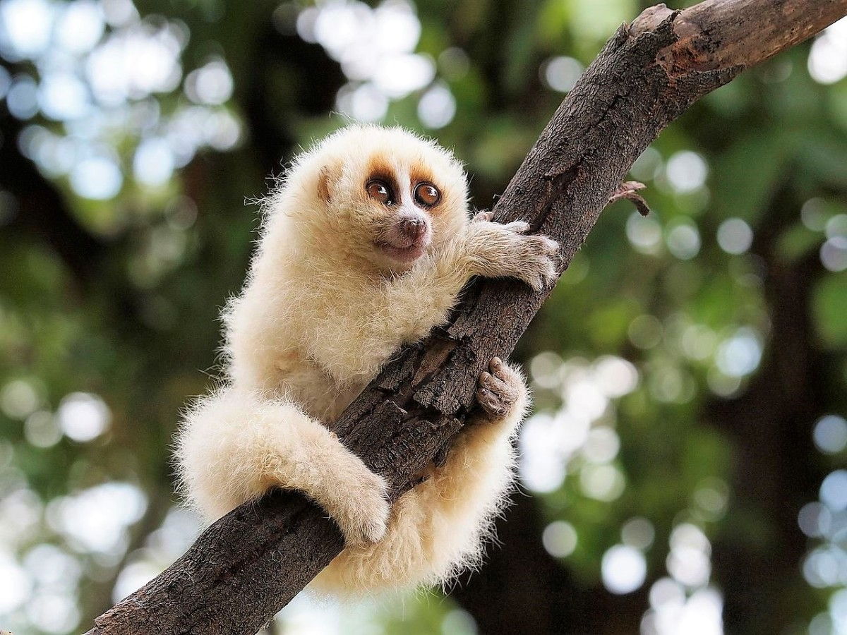 Some Java or Javan slow lorises have a darker coat than the one shown above.