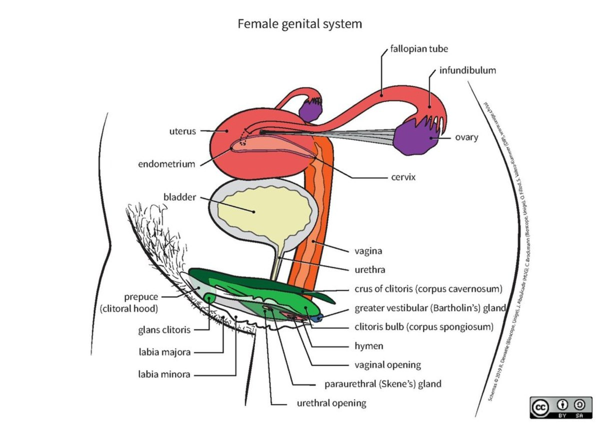 Anatomical charts of the genital system
