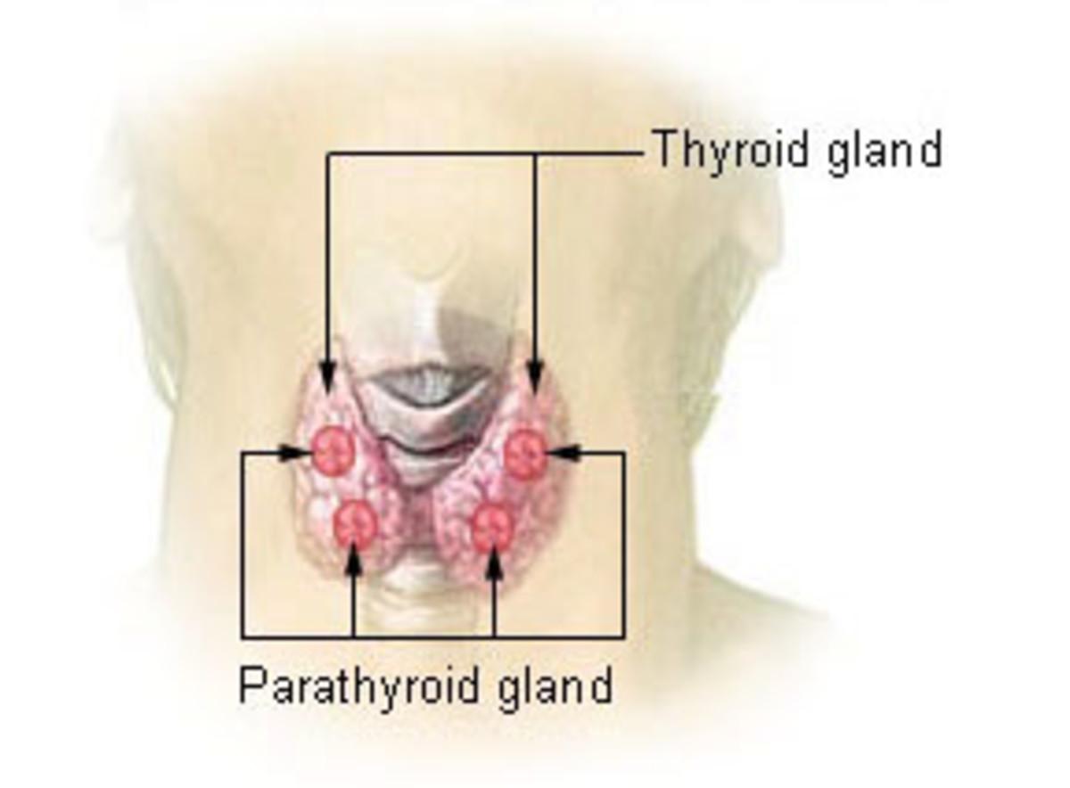 Parathyroid gland secrets parathyroid hormone.