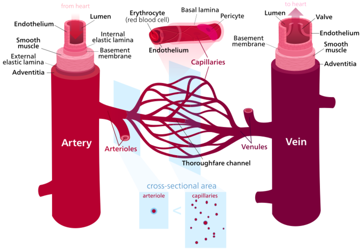 Cross section of arteries, veins, and capillaries