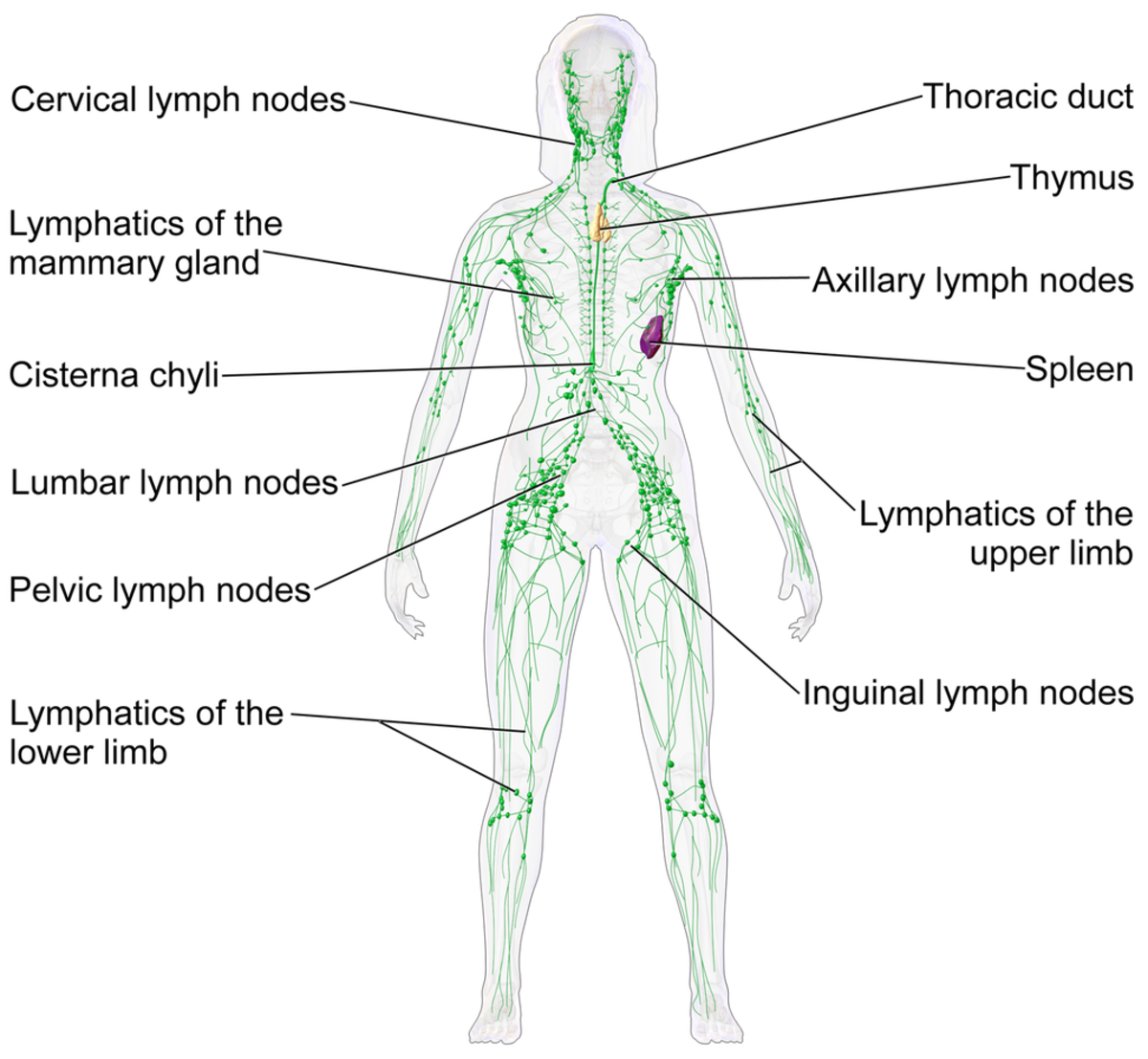 Lymphatic System Blood Flow