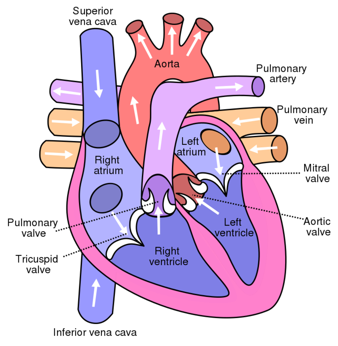 Parts of the human heart of the circulatory system