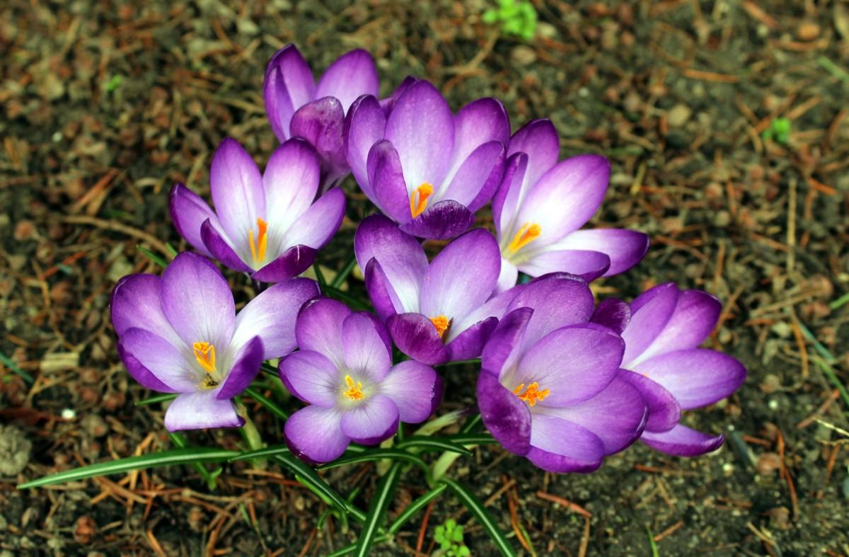 Saffron|Kesar