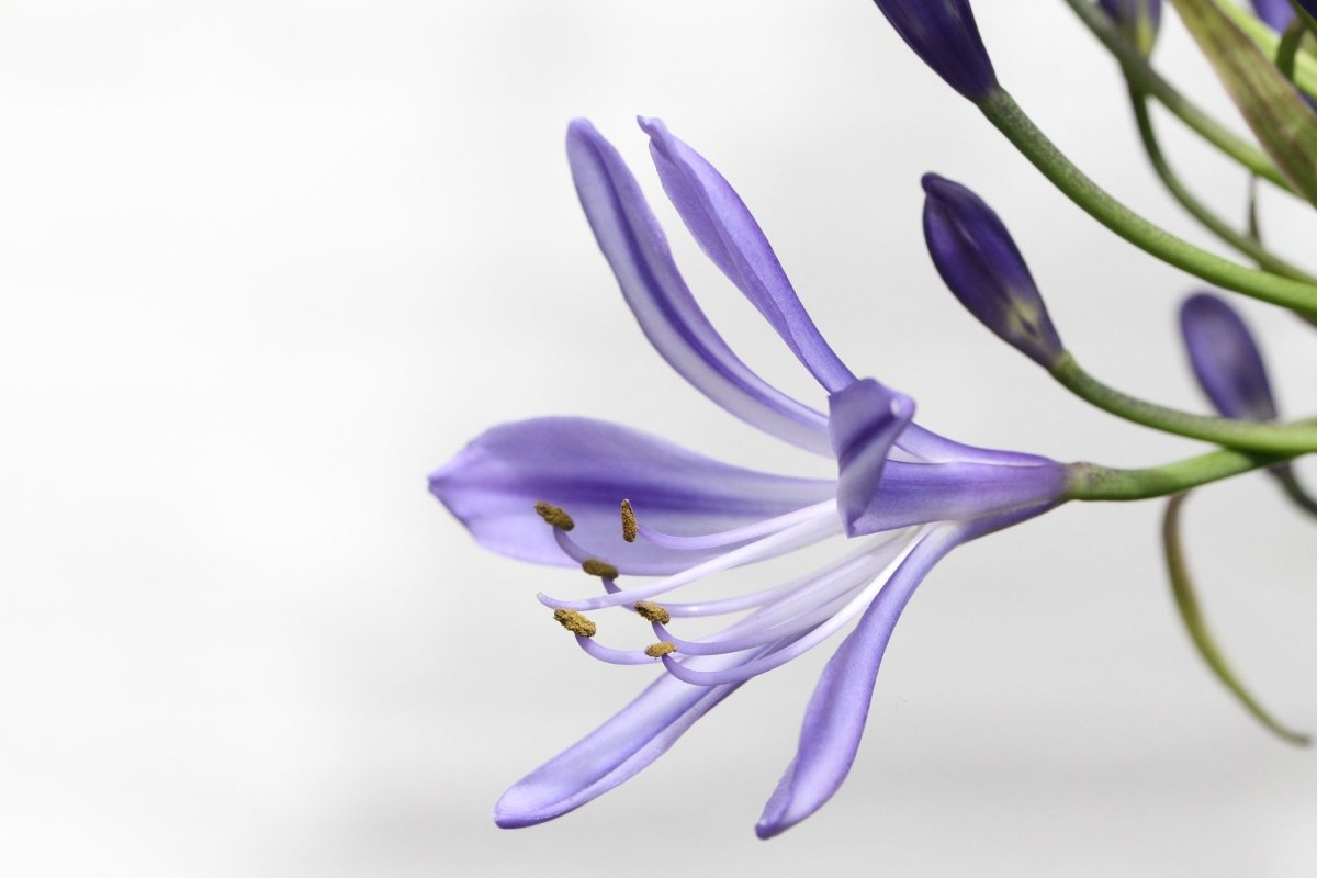 Lily|Kumudini