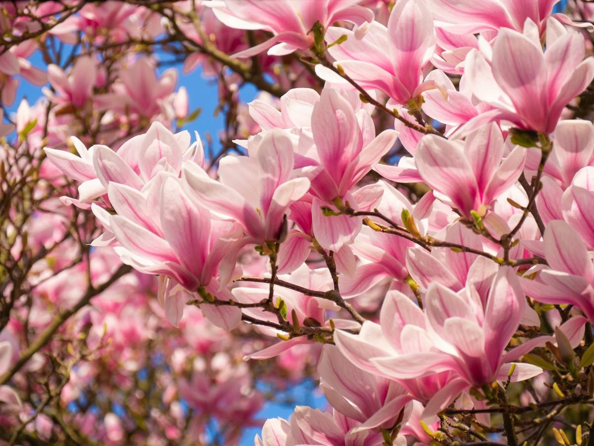 Magnolia|Champa