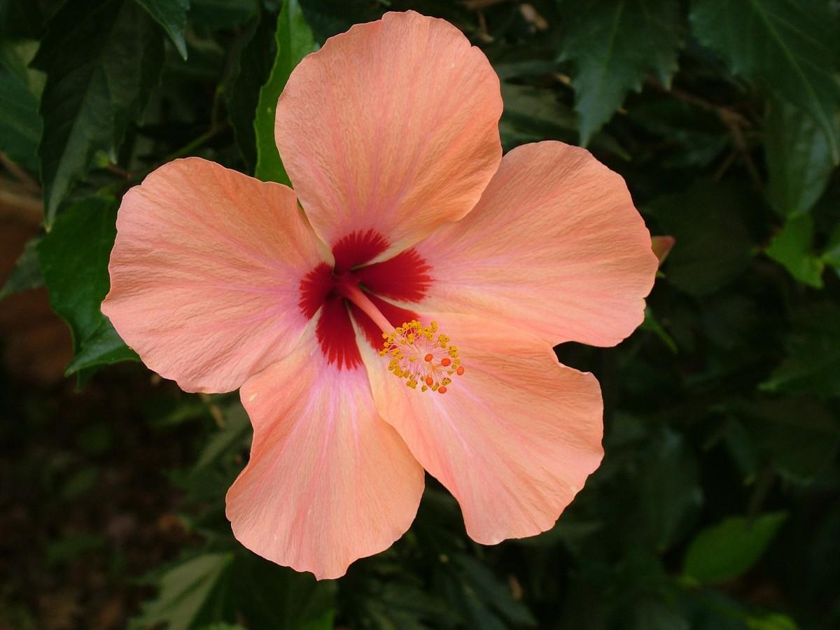 Hibiscus|Gurhal