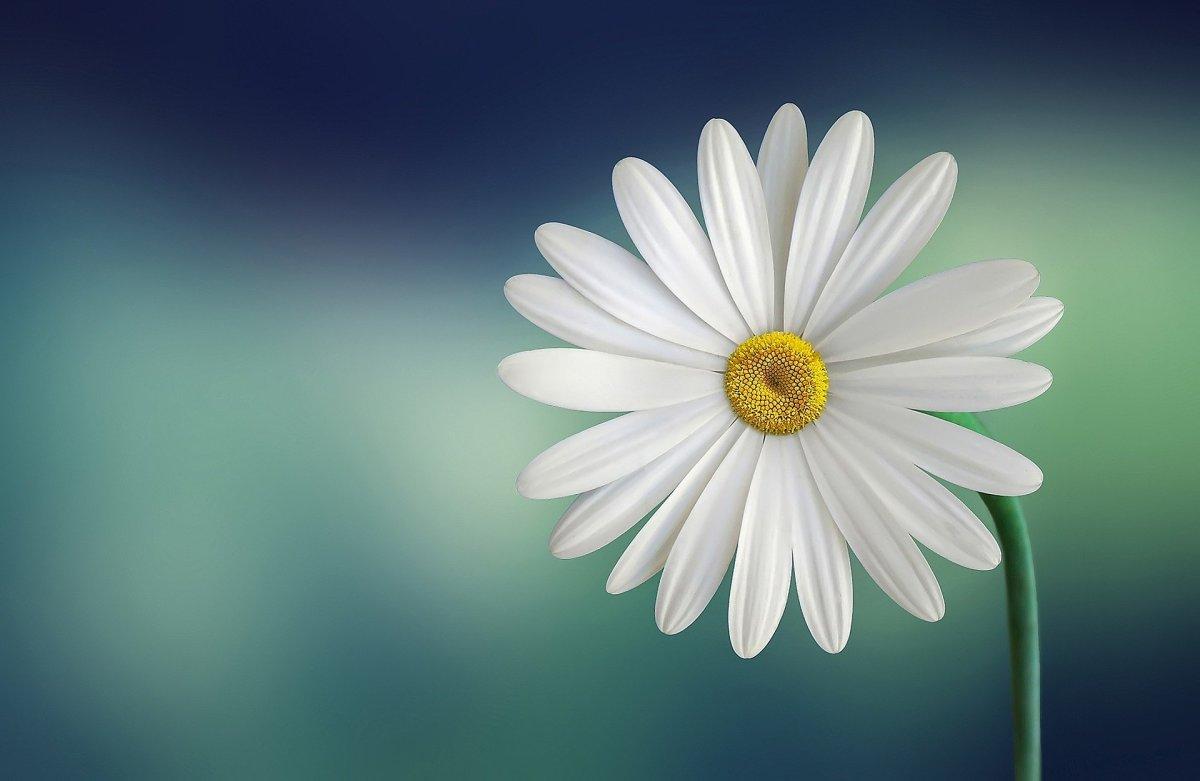 Daisy|Gulbahaar