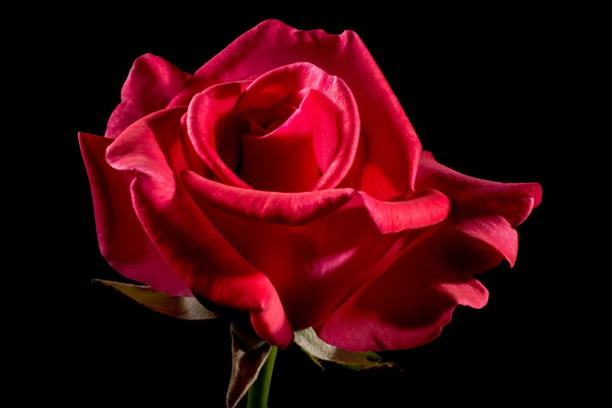 Rose|Gulaab