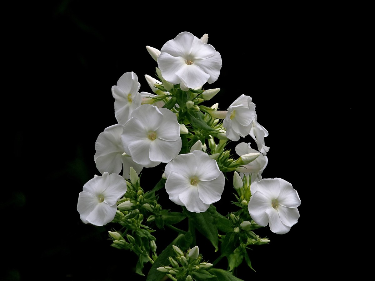 Night-blooming jasmine|Raat Rani