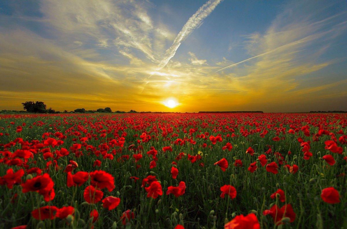 Poppy|Khaskhas